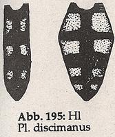 Hinterleib mit Fleckenzeichnung (Platycheirus discimanus)