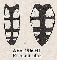 Hinterleib mit Fleckenzeichnung (Platycheirus manicatus)