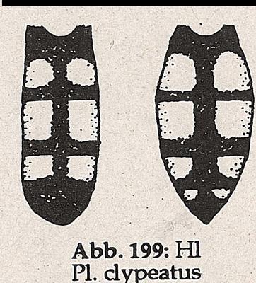 DJN-Schwebfliegen Bothe 1994 Abb.199 lMn Ww P.clypteatus H.png