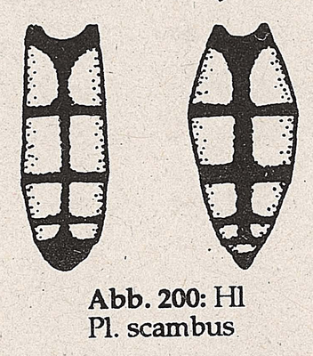 DJN-Schwebfliegen Bothe 1994 Abb.200 Mn Ww P.scambus Hl.png