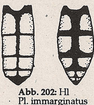 DJN-Schwebfliegen Bothe 1994 Abb.202 Mn Ww P.immarginatus Hl.png