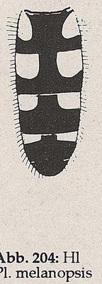 DJN-Schwebfliegen Bothe 1994 Abb.204 P.melanopsis Hinterleib.png