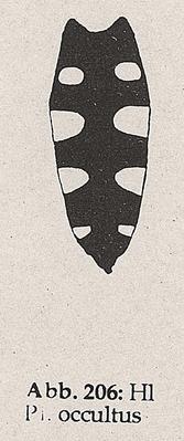 DJN-Schwebfliegen Bothe 1994 Abb.206 P.occultus Hinterleib.png