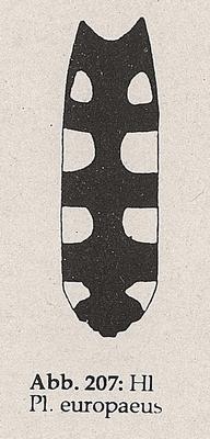 DJN-Schwebfliegen Bothe 1994 Abb.207 P.europeaus Hinterleib.png