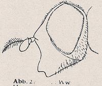 Gesicht nach vorn verlängert (Ww Hammerschmidtia ferruginea)