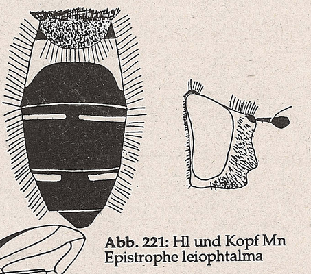 DJN-Schwebfliegen Bothe 1994 Abb.221 Mn E.leiophtalma Hl und Kopf.png