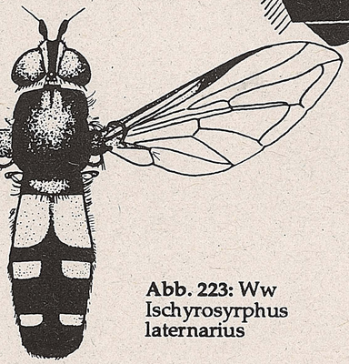 DJN-Schwebfliegen Bothe 1994 Abb.223 Ww I.laternarius.png