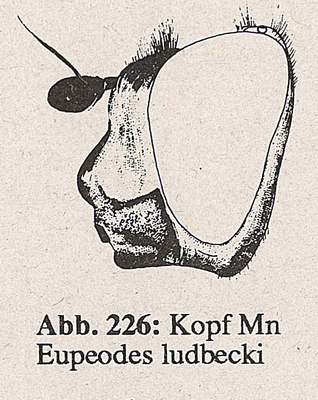 DJN-Schwebfliegen Bothe 1994 Abb.226 Mn Eupeodes ludbecki Kopf.png