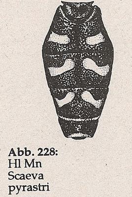 DJN-Schwebfliegen Bothe 1994 Abb.228 Mn Scaeva pyrastri Hl.png