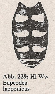 DJN-Schwebfliegen Bothe 1994 Abb.229 Ww Eupeodes lapponicus Hl.png