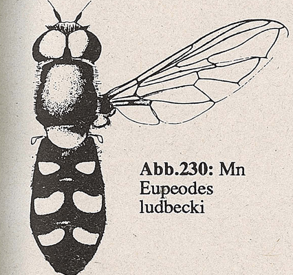 DJN-Schwebfliegen Bothe 1994 Abb.230 Mn Eupeodes ludbecki.png