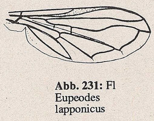 DJN-Schwebfliegen Bothe 1994 Abb.231 Eupeodes lapponicus Flügel.png