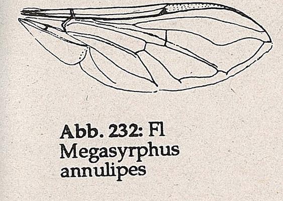DJN-Schwebfliegen Bothe 1994 Abb.232 Megasyrphus annulipes Flügel.png