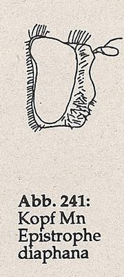 DJN-Schwebfliegen Bothe 1994 Abb.241 Mn Epistrophe diaphana Kopf.png