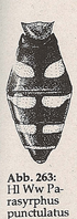 Hinterleib länglich, Vorderrand der Fleckenpaare parallel (Mn Parasyrphus punctulatus)