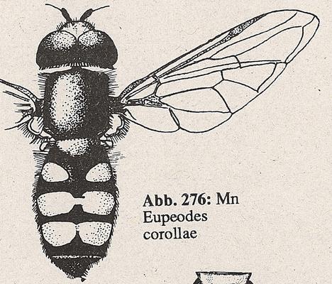 DJN-Schwebfliegen Bothe 1994 Abb.276 Mn Eupeodes corollae.png