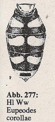 DJN-Schwebfliegen Bothe 1994 Abb.277 Ww Eupeodes corollae Hl.png