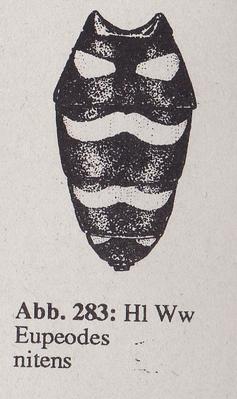 DJN-Schwebfliegen Bothe 1994 Abb.283 Ww Eupeodes nitens Hl.png