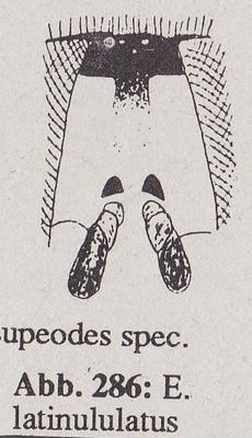 DJN-Schwebfliegen Bothe 1994 Abb.286 Ww Eupeodes latinululatus Stirn.png