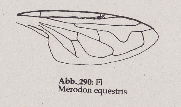 DJN-Schwebfliegen Bothe 1994 Abb.290 Merodon equestris Fl.png