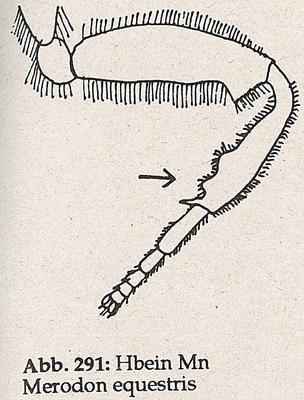 DJN-Schwebfliegen Bothe 1994 Abb.291 Mn Merodon equestris Hbein.png