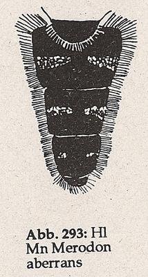 DJN-Schwebfliegen Bothe 1994 Abb.293 Mn Merodon aberrans Hl.png