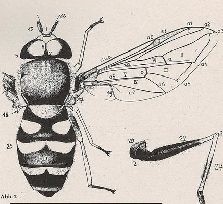 DJN-Schwebfliegen Bothe 1994 Abb.2 Syrphus ribesii ganzer Körper.png