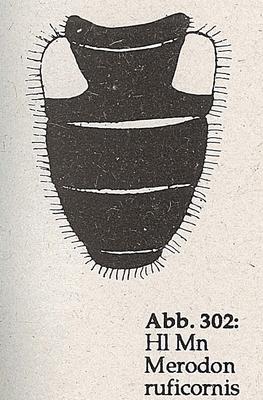 DJN-Schwebfliegen Bothe 1994 Abb.302 Mn Merodon ruficornis Hl.png