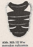 Hinterleib: Segment 2 mit Seitenflecken (Ww Merodon ruficornis)