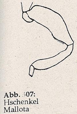 DJN-Schwebfliegen Bothe 1994 Abb.307 Mallota Hschenkel.png