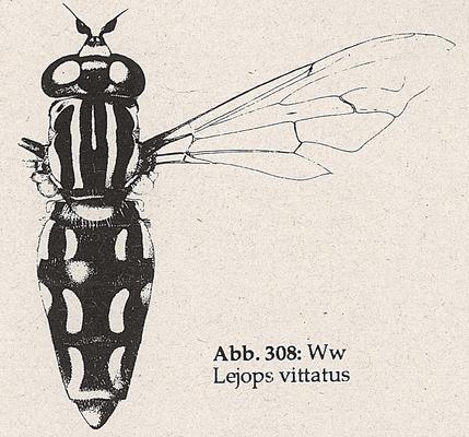 DJN-Schwebfliegen Bothe 1994 Abb.308 Ww Lejops vittatus.png