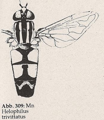 DJN-Schwebfliegen Bothe 1994 Abb.309 Mn Helophilus trivittatus.png