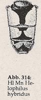 Hinterleib: gelbe Flecken auf Segment 3 breit (Mn Helophilus hybridus)