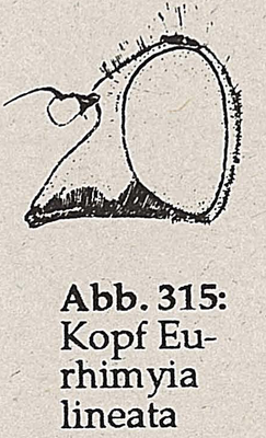 DJN-Schwebfliegen Bothe 1994 Abb.315 Eurhimyia lineata Kopf.png