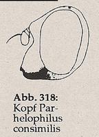 Gesicht normal (Parhelophilus consimilis)