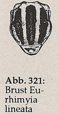 DJN-Schwebfliegen Bothe 1994 Abb.321 Eurhimyia lineata Brust.png