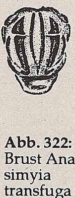 DJN-Schwebfliegen Bothe 1994 Abb.322 Anasimyia transfuga Brust.png