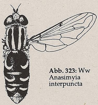 DJN-Schwebfliegen Bothe 1994 Abb.323 Anasimyia interpuncta.png
