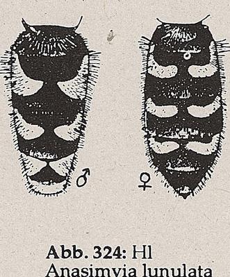 DJN-Schwebfliegen Bothe 1994 Abb.324 Anasimyia lunulata Hl.png
