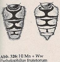 Hinterleib ohne Längssflecken (Parhelophilus frutetorum)