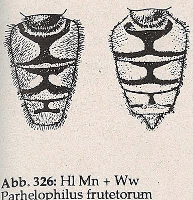DJN-Schwebfliegen Bothe 1994 Abb.326 Mn+Ww P.frutetorum Hl.png