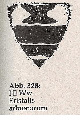 DJN-Schwebfliegen Bothe 1994 Abb.328 Ww Eristalis arbustorum Hl.png