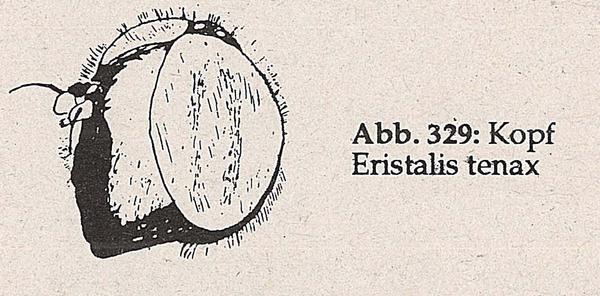 DJN-Schwebfliegen Bothe 1994 Abb.329 Eristalis tenax Kopf.png