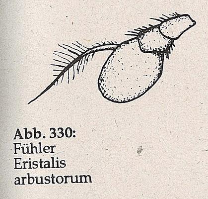 DJN-Schwebfliegen Bothe 1994 Abb.330 Eristalis arbustorum Fühler.png