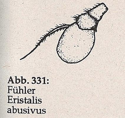 DJN-Schwebfliegen Bothe 1994 Abb.331 Eristalis abusivus Fühler.png