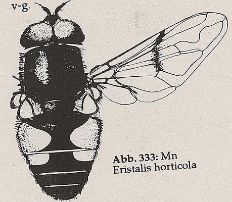DJN-Schwebfliegen Bothe 1994 Abb.333 Mn Eristalis horticola.png
