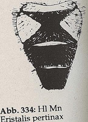 DJN-Schwebfliegen Bothe 1994 Abb.334 Mn Eristalis pertinax Hl.png