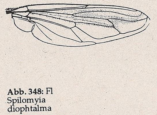 DJN-Schwebfliegen Bothe 1994 Abb.348 Spilomyia diophtalma Flügel.png