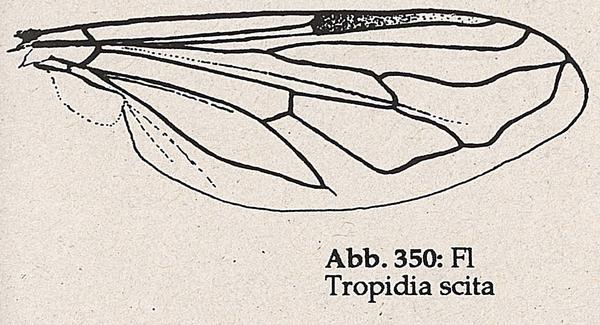 DJN-Schwebfliegen Bothe 1994 Abb.350 Tropidia scita Flügel.png