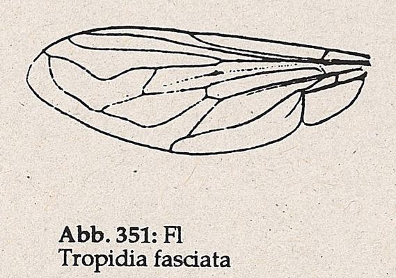 DJN-Schwebfliegen Bothe 1994 Abb.351 Tropidia fasciata Flügel.png